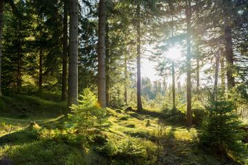 Fototapeta Zachodzące słońce oświetlające swym blaskiem świerkowy, górski las. obraz