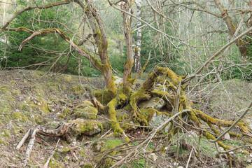 Stary, omszały, zniekształcony krzew rosnący na kamienistym podłożu.