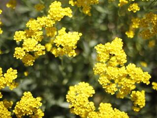 Krzew żółty kwitnący