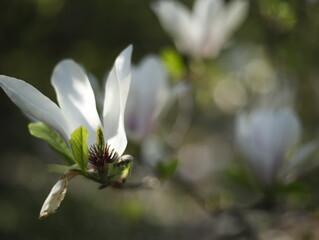 Obraz Magnolia kwiat kwitnienie - fototapety do salonu