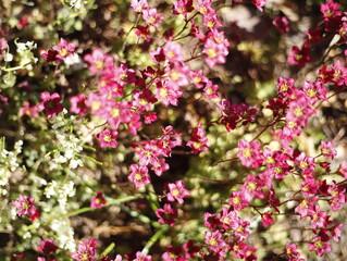 Krzew kwitnący różowy