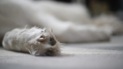 Łapa psa białego dużego