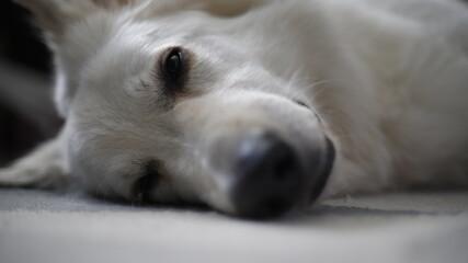 Pies biały owczarek głowa