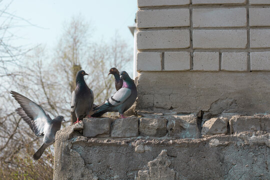 Pigeons sit on a brick building and look at each other, gossiping. Conceptual photography.