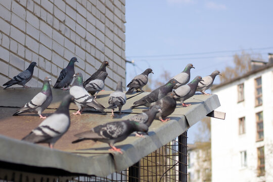 Grey pigeons sit on the roof on the city street.