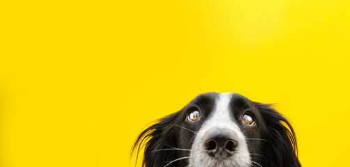 Close-up border collie dog head looking. Isolated on yellow background. - fototapety na wymiar