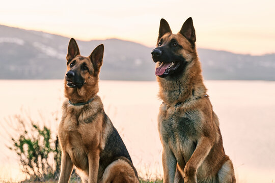 Adorable fluffy German Shepherd dogs sitting on meadow on background of mountains and lake at sunset and looking away