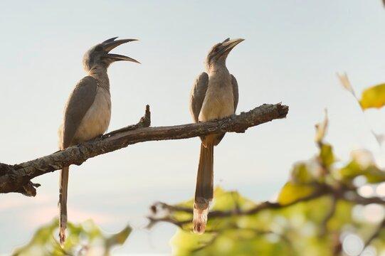 Pair of Indian gray hornbill is sitting on Branch of Bandhavgarh national park
