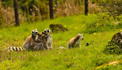 Obraz Lemury - fototapety do salonu