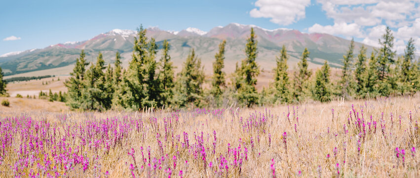 panoramic image with wildflowers in the Altay mountains