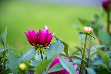 Obraz Kwiat Piwoni - fototapety do salonu