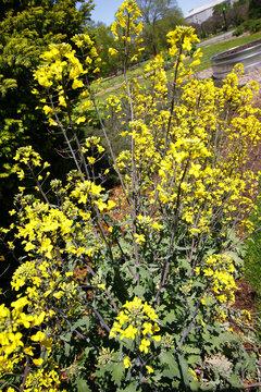 Vertical shot of yellow jasmine bush in the park