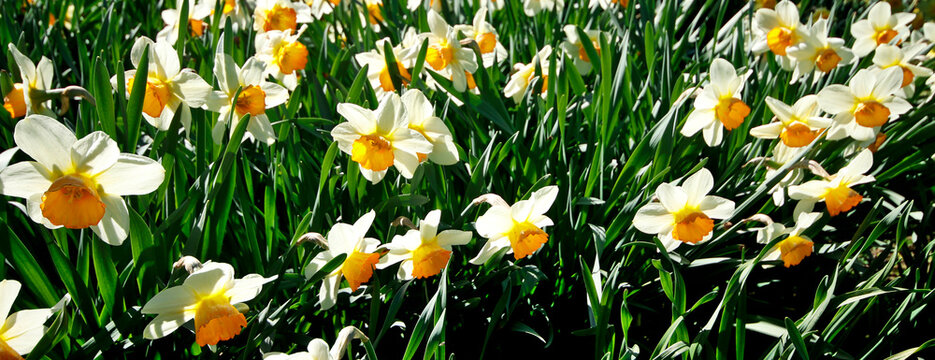 White narcissus blooming in the rays of the sun
