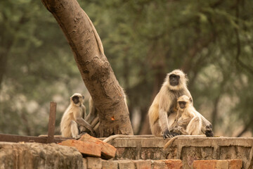 Gray or Hanuman langurs or indian langur or monkey mother with her baby at ranthambore national park or tiger reserve rajasthan india - Semnopithecus