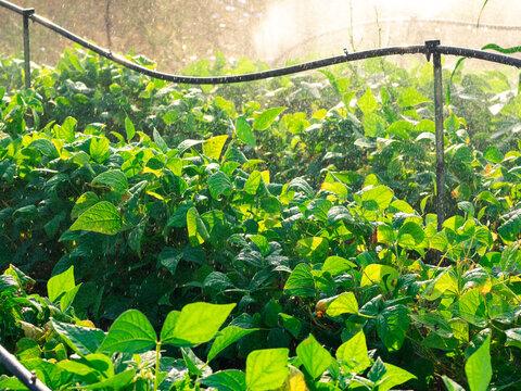 Acqua a pioggia sull'orto in controluce