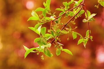 Fototapeta gałązka drzewa z młodymi listkami z bliska obraz