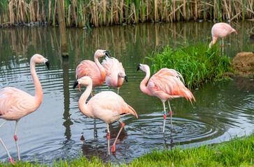 Flamingi bawiące się w wodzie.
