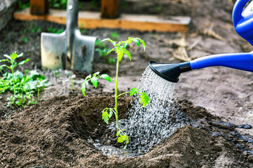 Fototapeta Gardening, Farming and agriculture concept. Watering seedling tomato plant in greenhouse garden. obraz