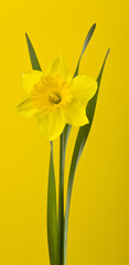 Narcis flower on a yellow background close-up.