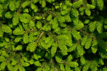 Norway spruce - Picea abies or European spruce with young shoots