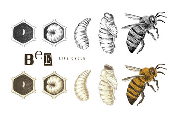 Fototapeta Hand drawn life cycle of a bee obraz