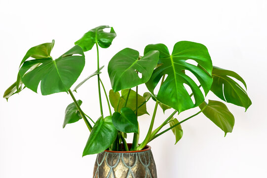 Monstera deliciosa, tropical plant on the white wall background. Potted beautiful monstera deliciosa closeup. Home gardening concept.