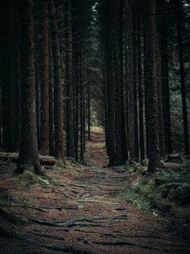 Footpath Amidst Trees In Forest, Scotland