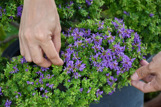 Midsection Of Woman Holding Purple Flowering Plants