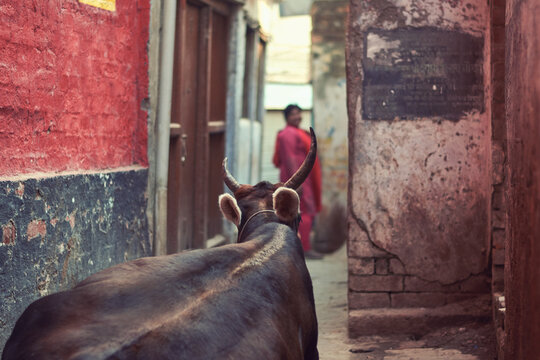 A Large Ox Blocking A Narrow Street In Varanasi While A Tourist Is Watching