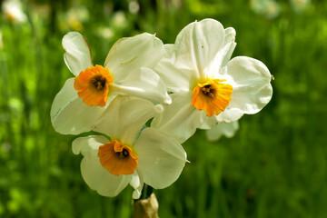 Fototapeta Piękne, biało-żółte kwiaty narcyzy. obraz