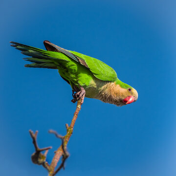 A wild Monk Parrot peaches on the top of a tree , at  Seaford at Seaman's Park, Long Island, New York.
