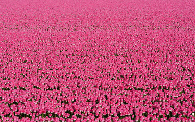Canvas Prints Pink Flower field full of pink tulips near the village of Petten in the Netherlands.