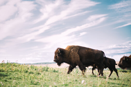 Plains bison Alberta Canada