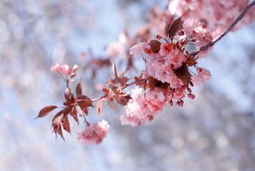 Fototapeta Kwitnąca wiśnia Kanzan - gałązka. Pink flowers obraz
