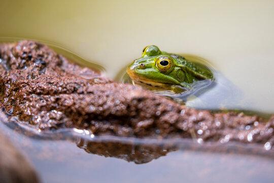 Pool frog (Pelophylax lessonae) outdoor