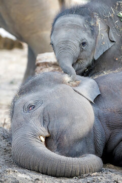 Young Asian elephants (Elephas maximus) playing with each other