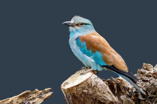 European roller (Coracias garrulus) bird