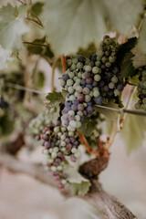 Fototapete - Healdsburg California, Dry Creek vineyards & wine grapes at dusk