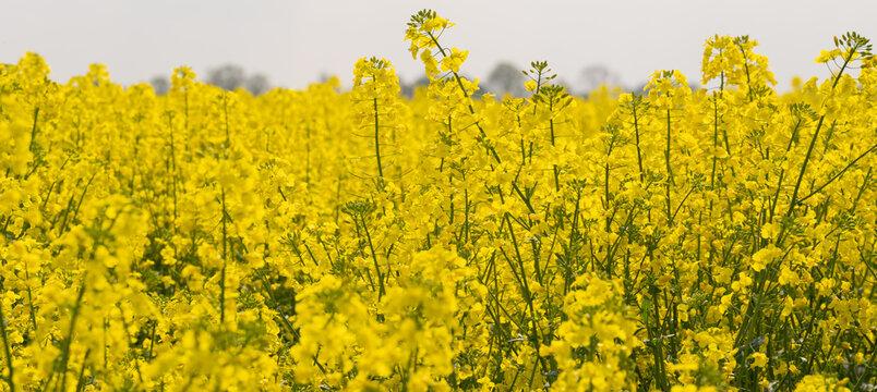 Rapsfeld Blüte in einem intensiven Gelb