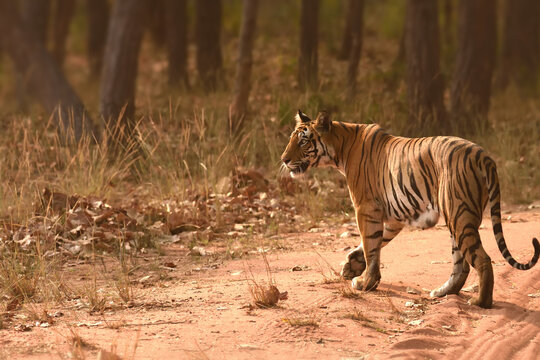 Photograph of female tiger while she was in morning stroll at Bandhavgarh National Park