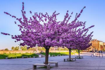 Kwitnące wiosenne drzewa na bulwarach wiślanych w Krakowie