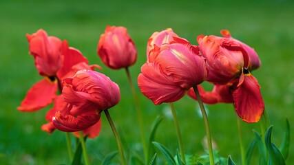 Obraz Czerwone wiosenne tulipany na tle drzew i trawy - fototapety do salonu