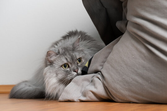 playful gray silver tabby british longhair cat hiding behinf bean bag lurking observing prey