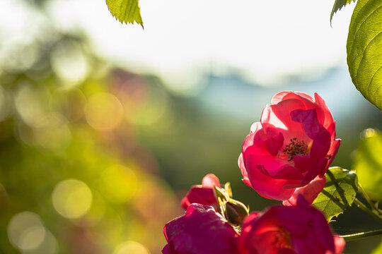 아침 햇살과 장미