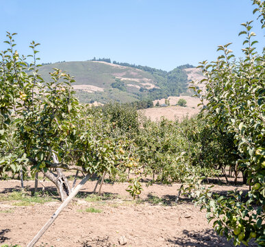 Apple Trees and mountains in California