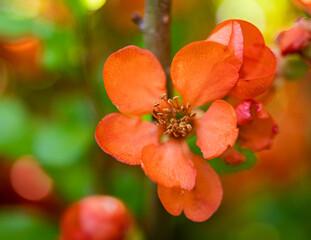 Obraz czerwony kwiat pigwowca na rozmytym tle - fototapety do salonu
