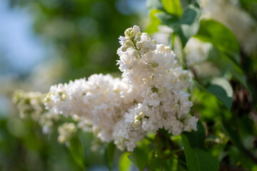 Obraz białe kwiaty bzu na rozmytym tle - fototapety do salonu