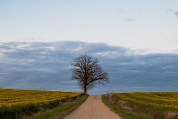 piaszczysta droga i drzewo