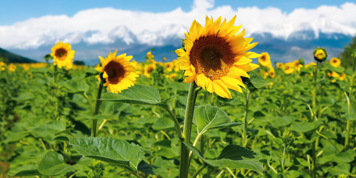 closeup of sunflower field in summer. blurred background of snow capped mountain ridge in the distance