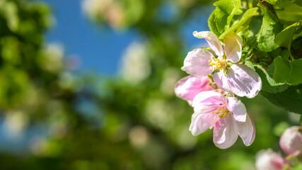 Obraz Kwiaty owocowe - fototapety do salonu